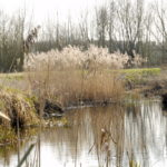 Thame River with tall reeds