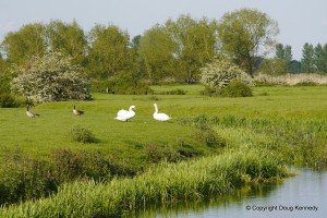 Swans and geese on the Thame above Winchendon