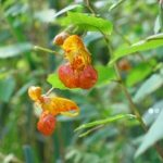Orange balsam - Trevor Renals