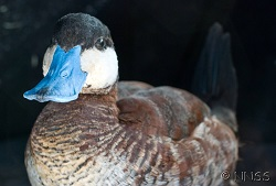 Ruddy duck - GBNNSS