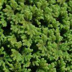 Water fern - GBNNSS