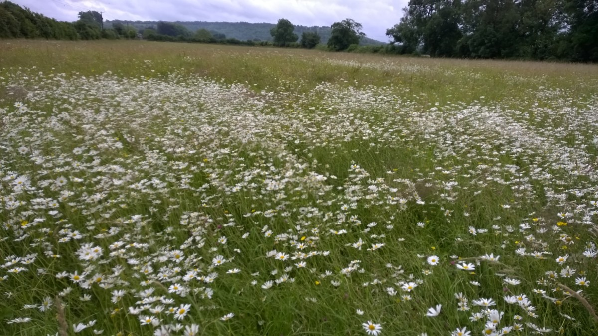 Semi-improved grassland in the upper reaches of Stoke Brook